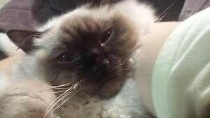 BEST HOME for 7 month Ragdoll Rutherford Maitland Area Preview