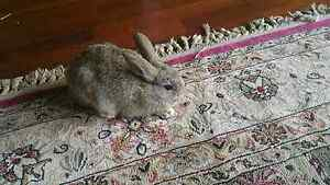 Baby bunnies - 8 weeks Rabbit Pakenham Cardinia Area Preview