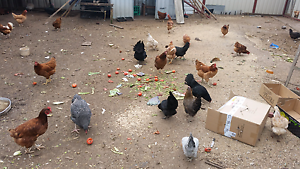 Chickens sale Broadmeadows Hume Area Preview