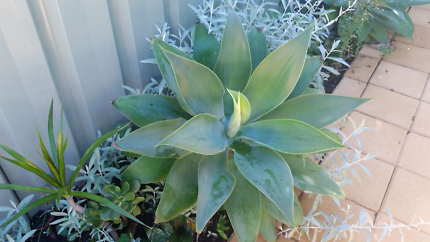 agave plant .large 15 only  or small. 10 only