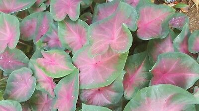 5 individual Caladium, ' Red Bellied Tree Frog ' , South Florida Grown