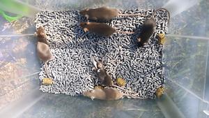 Free mice only a few left Gungahlin Gungahlin Area Preview