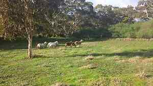 6 Damara fat tail sheep $300 for the lot Victor Harbor Victor Harbor Area Preview
