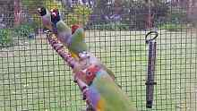 Gouldian Finches Tingira Heights Lake Macquarie Area Preview