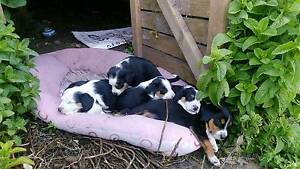 Beagle X Kelpie-Collie Pups for sale Woodsdale Southern Midlands Preview