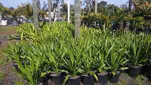 Spear Lily 30cm Pots Greenvale Hume Area Preview