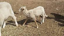 Damara lamb ram Mallala Area Preview