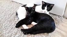 Adorable Kittens Kholo Brisbane North West Preview