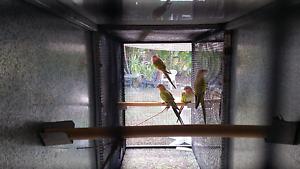 Princess parrots Cordalba Bundaberg Surrounds Preview