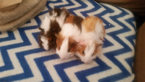 Baby Guinea pigs         BOYS SOLD Doonside Blacktown Area Preview