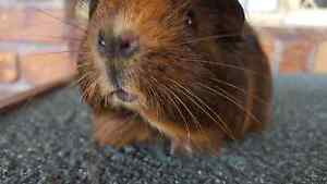 Baby girl long haired brown guinea pig Mermaid Waters Gold Coast City Preview