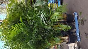 massive golden cane palms Elanora Heights Pittwater Area Preview