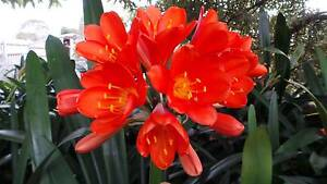 CLIIVIA - CLIVIA'S - FLOWERING SIZE PLANTS - BEAUTIFUL HYBRIDS Wandin North Yarra Ranges Preview