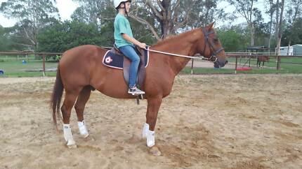 Quiet, Safe, Quarter Horse, Educated Schoolmaster
