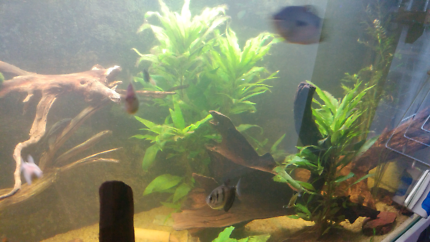 Fish tank  Drift 30$  Plants 5$  Annibius