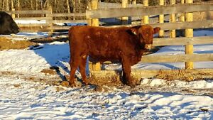 Wanted - a heifer bull and a herd bull, Red Angus, Speckle Park