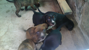 STAFFY x PUPS Williamstown Barossa Area Preview