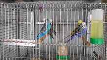 Four pairs Breeding Budgies Thornlands Redland Area Preview