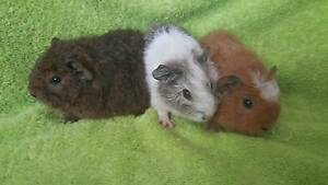 Baby Guinea Pigs for Sale - Rex Girls Wishart Brisbane South East Preview