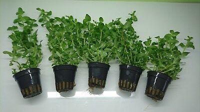 Bacopa Caroliniana Großes Fettblatt Topf Wasserpflanzen Aquariumpflanze ()