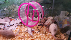 PET RATS QUIET & FRIENDLY