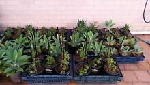 Plant Plants plants sale Prestons Liverpool Area Preview