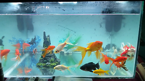 18 assorted goldfish Gosnells Gosnells Area Preview