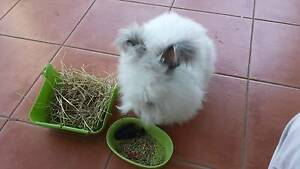 Sold - White English Angora rabbit for sale - Central Coast, NSW Wamberal Gosford Area Preview