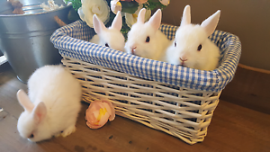 Purebred Netherland dwarf rabbit babies Gladstone Park Hume Area Preview