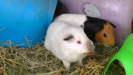 Guinea pigs for sale Canley Vale Fairfield Area Preview
