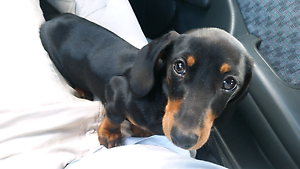 11 month old mini dachshund Adelaide CBD Adelaide City Preview