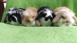 ❤QUALITY PUREBREED BABY MINI LOPS VACCINATED 4 WEEKS & 8 WEEKS Londonderry Penrith Area Preview