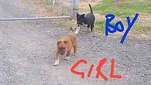 Red cattle x Border Collie x Kelpie puppies Llandilo Penrith Area Preview