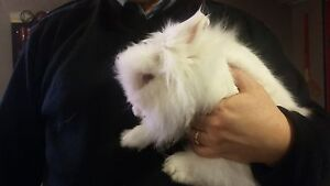 lion head all white 1 year old bunny for sale