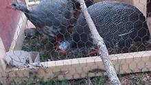 Guinea Fowl Boonah Ipswich South Preview