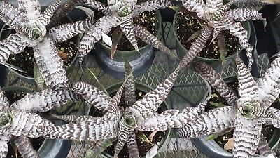 Bromeliad Cryptanthus Absolute Zero large size Exotic Tropical Plant - Exotic Bromeliad Plant