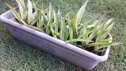 Several Agave plants - great prices