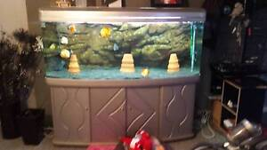 5ft fish tank with 12 discus mangalore hobart Mangalore Southern Midlands Preview