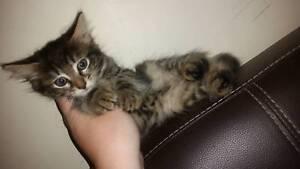 1 adorable rescue kitten (domestic)