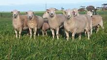 WILTIPOLL RAMS FOR SALE Bute Barunga West Preview