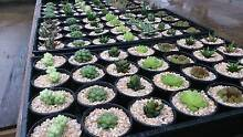 Succulents Potted  -  collector varieties in Sydney Ryde Ryde Area Preview