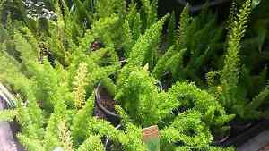 Foxtail Ferns from $15 Greenvale Hume Area Preview