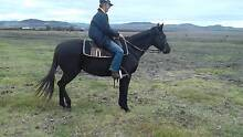 Black Thoroughbred suited to confident rider of family #VIDEO Greenmount Toowoomba Surrounds Preview