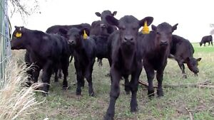 Looking for some angus calfs