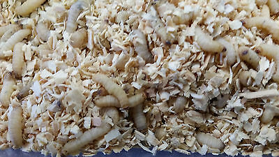 Waxworms, Wax worms, Bee Moth Larvae, Fishing, Reptile Feeders,  Free Shipping