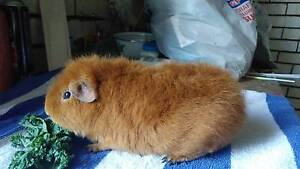 Rex guinea pigs. Orange Orange Area Preview