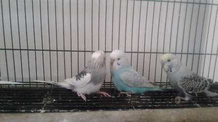 5 YOUNG MALE BUDGIES