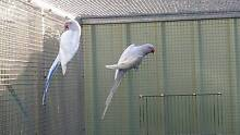 ASSORTED INDIAN RINGNECK BREEDING PAIRS FROM $60 New Beith Logan Area Preview