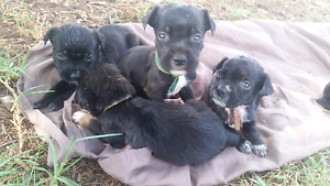 Rotti x Staffy pups for sale Hassall Grove Blacktown Area Preview