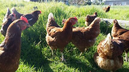 Laying Hens - 8-Month-Old's With Money Back Guarantee!
